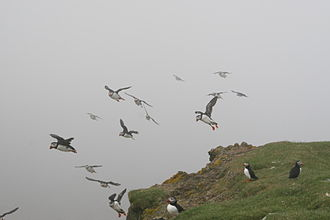 Puffin - Atlantic puffins on the Faroe Islands