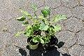 Kluse - Brassica oleracea var. ramosa - Ewiger Kohl 01 ies.jpg