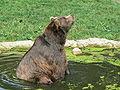Kodiak bear1.JPG