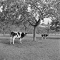 Koeien in de wei onder appelbomen, Bestanddeelnr 252-0195.jpg