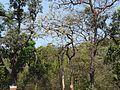 Konda Tangedu (Telugu- కొండ తంగేడు) (3391749309).jpg