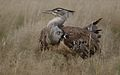 Kori bustard, Ardeotis kori, at Kgalagadi Transfrontier Park, Northern Cape, South Africa (33692672004).jpg