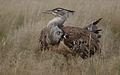 Kori bustard, Ardeotis kori, at Kgalagadi Transfrontier Park, Northern Cape, South Africa (33692672004).jpg