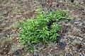 Korina 2016-05-28 Prunus serotina 2.jpg