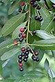 Korina 2017-08-12 Prunus laurocerasus.jpg