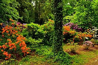Kórnik - Rhododendrons in the Kórnik Arboretum
