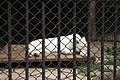 Kunming City Zoo White Tiger (9964703054).jpg
