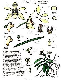 <i>Thrixspermum congestum</i> Species of orchid