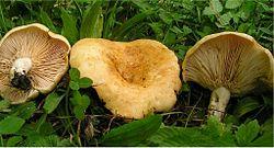 Lactarius acerrimus 73824.jpg