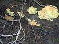Laetiporus-sulphureus-1906.jpg