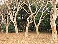 Lagerstroemia subcostata in Koishikawa gardens.jpg