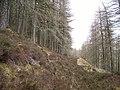 Larch woods, Cnoc Fyrish - geograph.org.uk - 155704.jpg