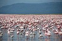 Large number of flamingos at Lake Nakuru.jpg