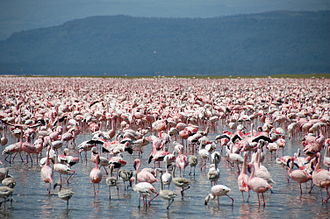 Colony of flamingos at Lake Nakuru Large number of flamingos at Lake Nakuru.jpg