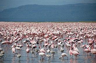 Nakuru County - Flamingos at Lake Nakuru