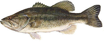 English: picture of largemouth bass