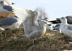 Iceland gull - Young Kumlien's gull in New York