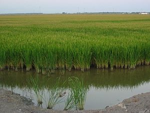 Guadalquivir Marshes - Las Marismas del Guadalquivir landscape, depicting rice fields in the Isla Mayor area.