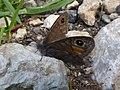 Lasiommata petropolitana Monte Altissimo.jpg
