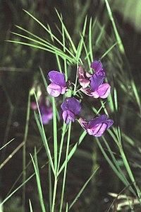 Lathyrus bauhinii1 eF