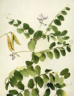 Lathyrus japonicus var. maritimus WFNY-115.jpg