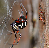Latrodectus variolus (Northern Black Widow), F Theridiidae.jpg