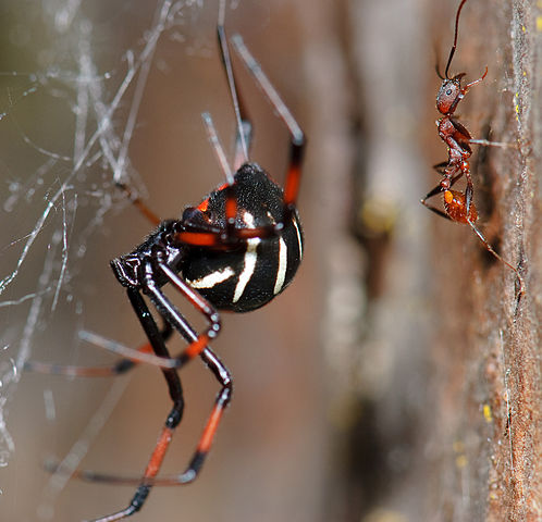"""Latrodectus variolus (Northern Black Widow), F Theridiidae"" by Marshal Hedin - Flickr: Latrodectus variolus (Northern Black Widow), F Theridiidae. Licensed under Creative Commons Attribution 2.0 via Wikimedia Commons - https://commons.wikimedia.org/wiki/File:Latrodectus_variolus_(Northern_Black_Widow),_F_Theridiidae.jpg#mediaviewer/File:Latrodectus_variolus_(Northern_Black_Widow),_F_Theridiidae.jpg"