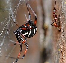 Southern Black Widow [Latrodectus mactans]