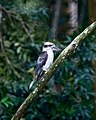Laughing Kookaburra (31741707960).jpg