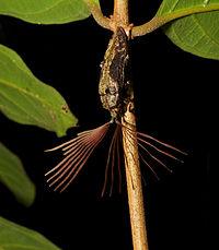 Leaf Rake-like Antennae Beetle (Callirhipis sp.) (15301964659).jpg
