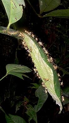 Bộ sưu tập côn trùng 2 - Page 14 220px-Leipomeles_dorsata_%28Fabricius%29_%288406879983%29