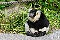 Lemur (26618722127).jpg