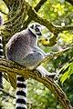 Lemur (39822764600).jpg