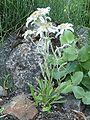 Leontopodium himalaja 814b.JPG