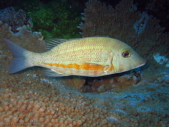 Lethrinidae - Orange-striped emperor (Lethrinus obsoletus)
