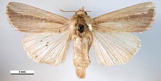 Leucania loreyi Species of moth