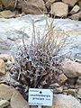 Leuchtenbergia principis - Botanischer Garten, Dresden, Germany - DSC08863.JPG
