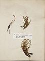 Lichenes Helvetici III IV 1842 010.jpg