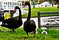 Life in Canning - Fern Park swans (edited).jpg