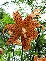 Lilium lancifolium 'Flore Pleno'2.jpg