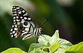 Lime Butterfly (Papilio demoleus).JPG