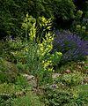Linaria dalmatica - Flickr - peganum.jpg
