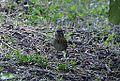 Lincoln's Sparrow (8002116838).jpg