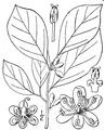 Lindera benzoin (L.) Blume var. benzoin Northern spicebush.tiff