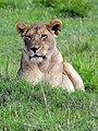 Lion (3075186835).jpg