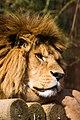 Lion (457797855).jpg