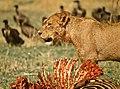 Lioness at kill.jpg