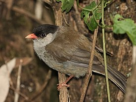 Lioptilus nigricapillus -Giants Castle Game Reserve, KwaZulu-Natal, South Africa-8.jpg