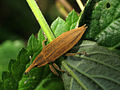 Lixus iridis IMG 3978 (Nemo5576).jpg
