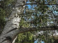 Llacuna del Samaruc (Algemesí-Parc Natural de l'Albufera) 3.jpg